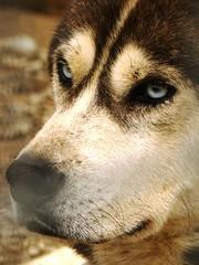 Olhos de Vidro (vana_gwen) Tags: gelo argentina azul ushuaia olhar husky perro lindo cao cachorro neve frio passeio pelo h50