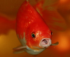 (TerriP08) Tags: pet fish water aquarium goldfish abigfave anawesomeshot citrit goldstaraward rubyphotographer