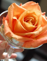 053b-365 - peachy rose (mizlizzee) Tags: flowers flower glass floral rose martini floralappreciation