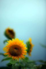 Sunflower mist (anthonyserafin) Tags: