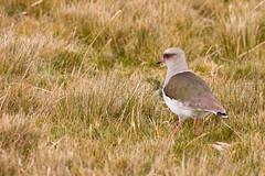 andean lapwing (jj birder) Tags: ecuador andes lapwing andean paramo antisana vanellus resplendens