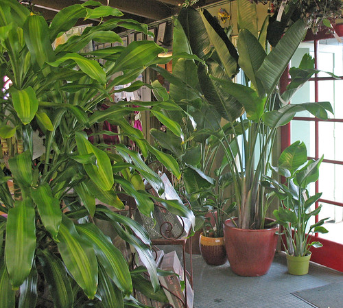 green-leafed tall indoor plants