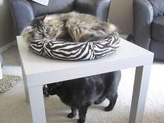 Freya being innocent (jon_a_ross) Tags: cats cat blackcat tabby freya danya dsh domesticshorthair longhairedcat browntabbycat inthetop100mostinterestingpicturesihaveonflickrjune122009