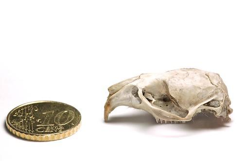 schedel woelrat