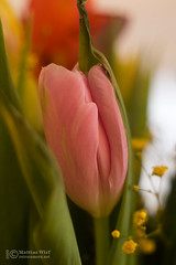 Pentacon tulip