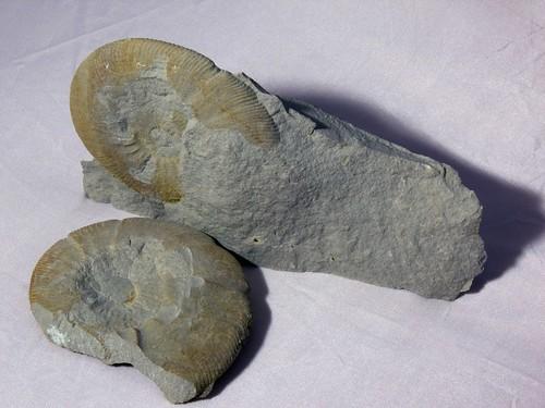 Ataxioceras sp