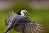 For once (nosha) Tags: winter bird nature beautiful beauty birds nikon outdoor wildlife january nuthatch 2009 avian 135mm lightroom f40 d300 blackmagic nosha augury natureycrap nikond300 january2009 0mmf0