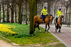Happy horses (Pieter Musterd) Tags: flowers horses horse holland canon spring raw centre nederland thenetherlands police denhaag lente centrum thehague aa narcis narcissus paard paarden politie bulbflowers langevijverberg canoneos400d pietermusterd