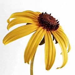 Black Eyed Susan (debapaka) Tags: flowers floral blackeyedsusan