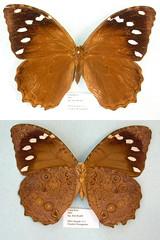 Manataria hercyna