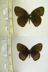Manerebia cyclopella