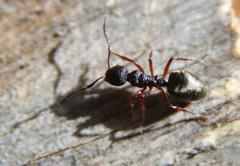 IMG_8365 (justjjoke) Tags: autumn april southaustralia 2009 austalia adelaidehills kingdomanimalia phylumarthropoda classinsecta orderhymenoptera suborderapocrita dolichoderus deadtreeantnestwood superfamilyvespoidea familyformicidaelatreille1809