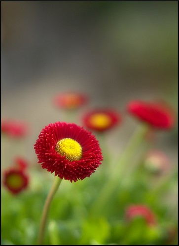 Red bellis by Funchye