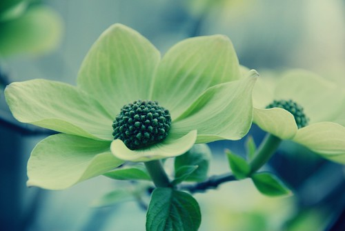 dogwood pretties