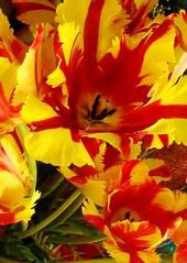 DSC04505 parrot tulip icon min