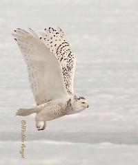 09 03 15 065R Harfang en vol (mitch099) Tags: winter snow bird nature beautiful beauty quebec hiver beauté québec owl neige oiseau rapace harfang micheleamyot mitch099