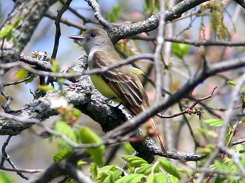 Great Crested Flycatcher 20090508