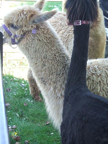 Red Hill alpaca