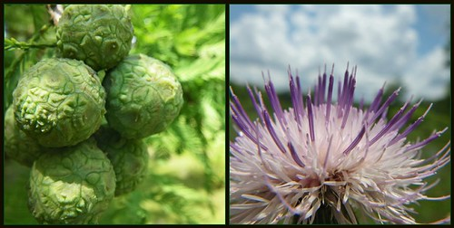 Cypress and Thistle