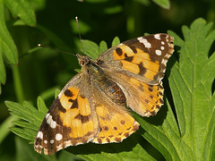Vanessa cardui - Painted Lady (gripspix (BUY BUY! OFF NOW!)) Tags: macro butterfly insect schmetterling paintedlady vanessacardui distelfalter