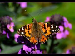 Painted Lady (champbass2) Tags: california orange black nature northerncalifornia tongue lady butterfly garden wings backyard nikon purple lavender soe wallflower d90 mywinners champbass2 vosplusbellesphotos