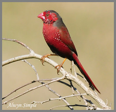 0782_8008 Crimson Finch Tyto Wetlands (alwynsimple) Tags: birds finch ingham alwyn tyto crimsonfinch neochmiaphaeton tytowetlands