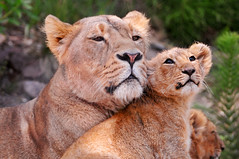 [フリー画像] [動物写真] [哺乳類] [ネコ科] [ライオン] [親子/家族]      [フリー素材]