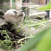Berliner Zoo 2009 - Bao Bao