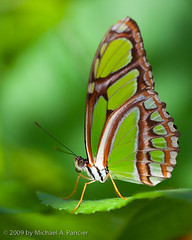 Butterfly in a Sea of Green (Michael Pancier Photography) Tags: flowers flower macro closeup butterfly florida butterflies insects bugs seor browardcounty butterflyworld macrolicious malachitebutterfly tradewindspark touristlocations floridaphotographer michaelpancier michaelpancierphotography browardcountyflorida photobyseoritashutterbug wwwmichaelpancierphotographycom seorcohiba