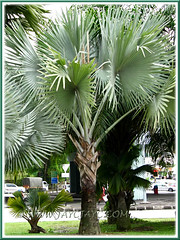 A matured tree of Bismarckia nobilis (Bismarck Palm, Bismark Palm), the blue/silver/grey form
