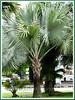 Bismarckia nobilis (Bismarck Palm, Bismark Palm)