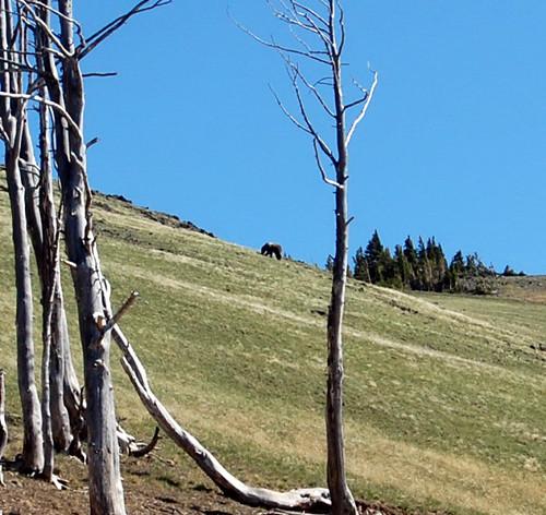 grizzly bear washburn yellowstone