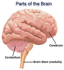 Brain_parts