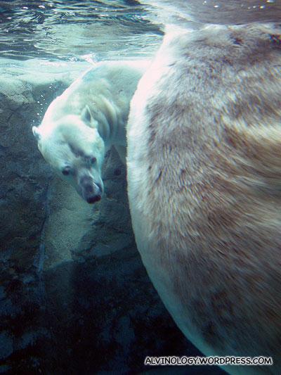 Two polar bears playing