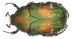 Gametis jucunda (Faldermann, 1835) (urjsa) Tags: china insect asia asien beetle kfer coleoptera scarabaeidae jucunda taxonomy:order=coleoptera taxonomy:family=scarabaeidae geo:country=china gametis coleopteraus taxonomy:species=jucunda taxonomy:genus=gametis taxonomy:binomial=gametisjucunda gametisjucunda