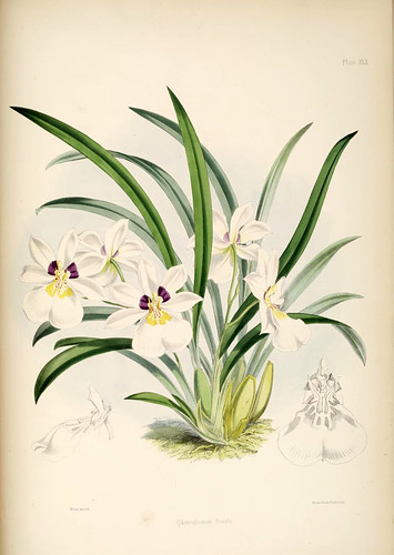 021-Odontoglossum Roezlii