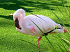 Ft. Worth Zoo - Flamingo (kinchloe) Tags: zoo flamingo ft worth dfw platinumheartaward zoosofnorthamerica mwqio