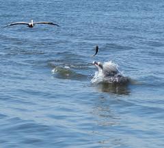 dolphin , pelican & fish