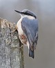 nuthatch (sure2talk) Tags: bird nuthatch newforest pfosilver