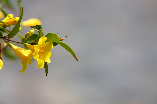 Yellow Flowers Desktop