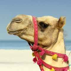 Camel riding in Dubai (Bn) Tags: dubai beachvolleyball camel windsurfing paragliding topf100 palmbeach unitedarabemirates topf200 beautifulbeach arabiangulf watersport jumeirahbeach jetskiing deepseafishing kameel publicbeach supershot 100faves warmwaters 200faves seenonflickr 4550degreescentigrade softwhitesand shallowwarmturquoisewaters kameelrijden camelridingindubai