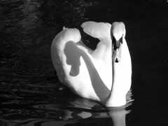 Illusione (lrene) Tags: light shadow bw white black swan ombra bianco nero luce swann cigno flickrsbest abigfave overtheexcellence lrene