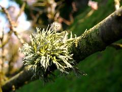 Lichen (*georgia*) Tags: light sun macro tree nature spring lichen