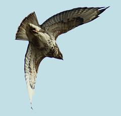 Flying high (binaryCoco) Tags: bird flying spring hannover vogel frühling flug frühjahr laatzen fliegend slbflying teufelskuhle