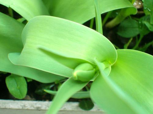 Tulpenknopf