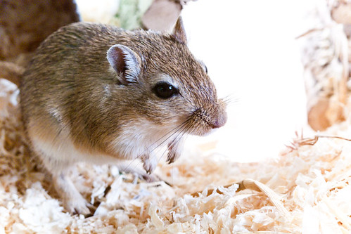 Gerbil! by SpoiltCat, on Flickr