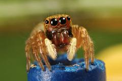Jumping Spider (Dwi Janto Johan) Tags: macro hongkong nikon d70s micro lantauisland reverselens tungchung sb24 sb25 br2a orderaraneaespiders kenkoexttube36mm canonfd24mm128ssc phylumarthropodaarthropods notaxonentelegynes infraorderaraneomorphaetruespiders classarachnidaspidersscorpionsmitesandticks familysalticidaejumpingspiders genussitticus speciesconcolorsitticusconcolor