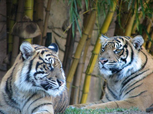 Tigers In Asian compound
