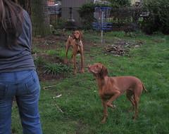 softly (carolyn_in_oregon) Tags: dogs oregon portland andrea vizsla ...  Vizsla Oregon