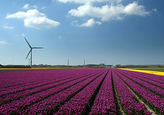 Purple (ZoomLoes) Tags: purple tulips dunes perspective nuclear rows april 2009 reactor bulbfields petten northholland ©zoomloes loesvandezande